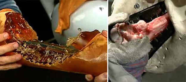 На фотографии слева: результат моделирования укуса акулы, которая за...
